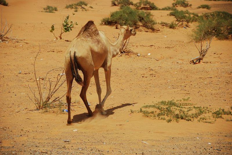 Dubai wildlife PxHere