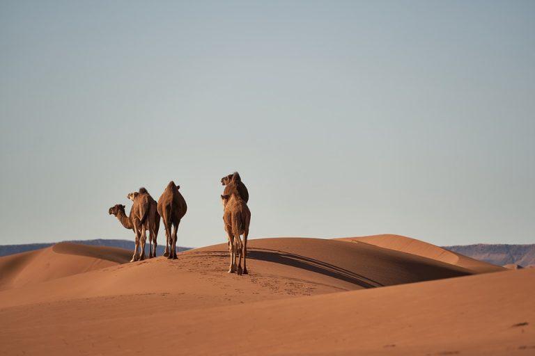 Camels Desert Sand Pixabay