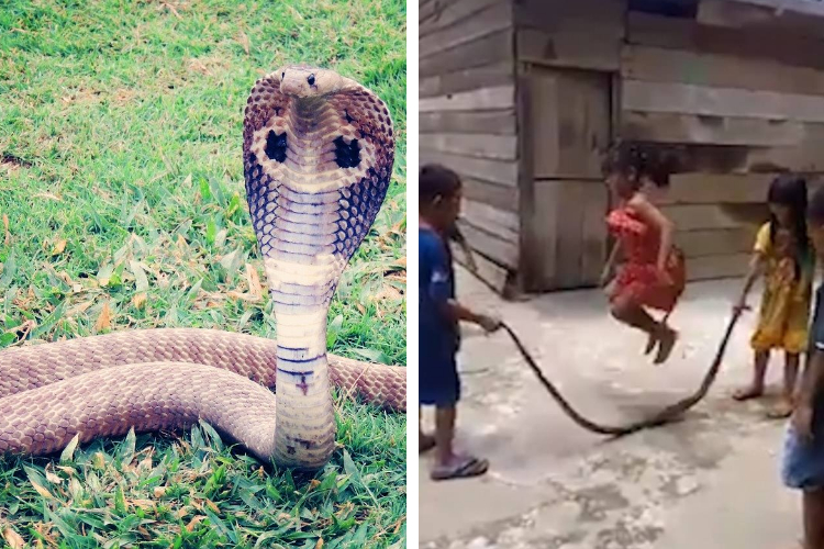 Vietnam Snake Kids Viral Video King Cobra Snakebites Reptile