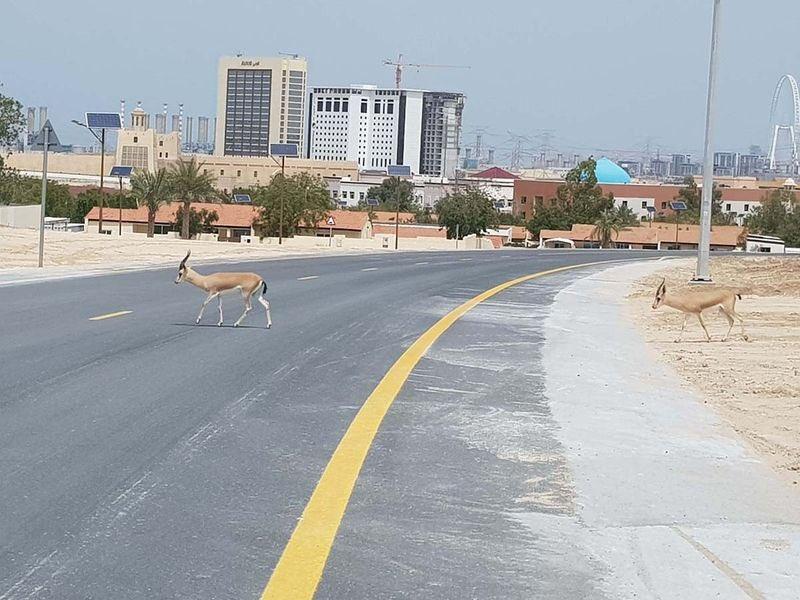 Dubai gazelles reclaim the streets