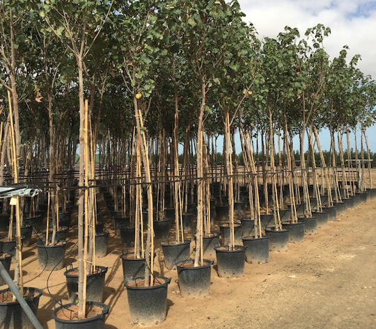 Dubai plants 6,000 trees a month