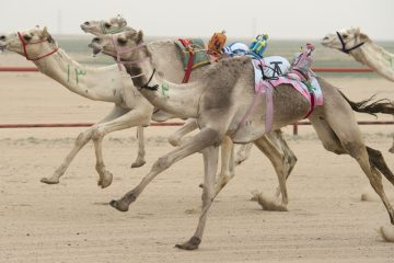 Dubai camel races resume with robot riders