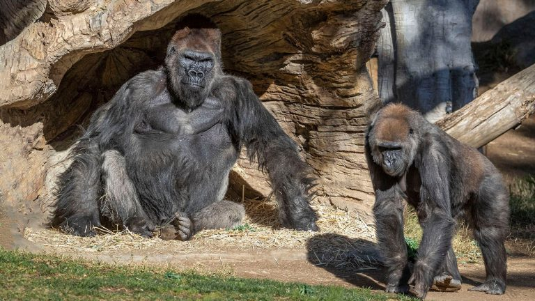 Gorillas at San Diego Zoo test positive for Covid