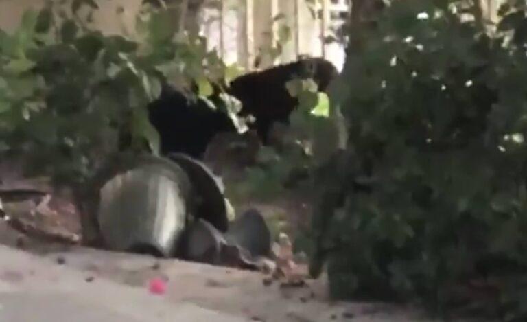 Black Jaguar spotted in Springs, Dubai Police urge caution