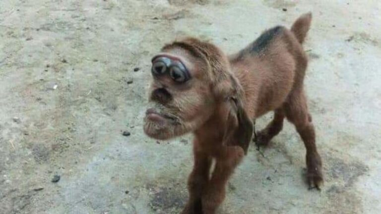 Goat born with 'head of a monkey' in Egypt