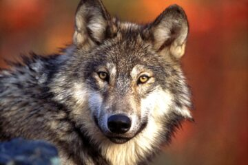 man arrested after trying to sell a wolf in Dubai