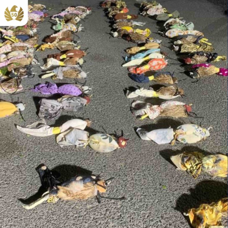 64 live falcons found smuggled in vegetable truck at Hatta border