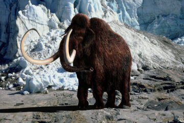 Scientists are trying to bring the woolly mammoth back from extinction