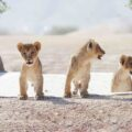 Have dinner with the lions at Al Ain Zoo