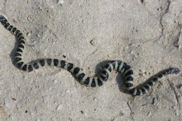 snakes spotted on beaches in Dubai and sharjah