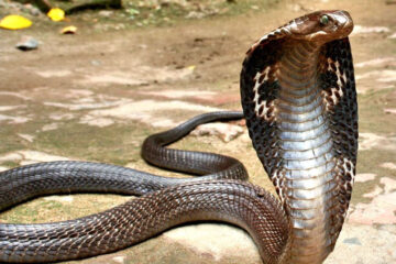 Indian man given two life sentences for killing wife using a cobra
