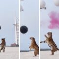 Dubai couple use tiger at gender reveal party